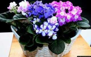 Как ускорить цветение фиалки