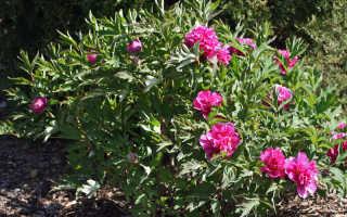 Древовидный пион уход и выращивание фото