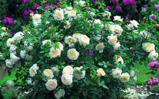 Как обрезать однократно цветущие кустовые розы на зиму