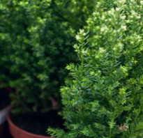 Комнатный кипарис модное домашнее растение с фото
