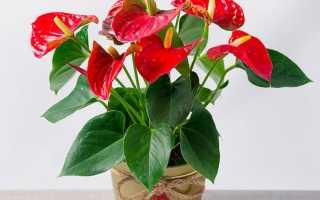 Комнатные растения антуриум как ухаживать