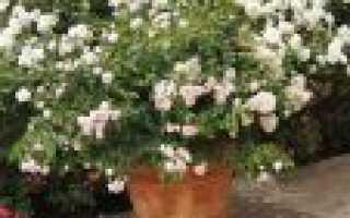 Как размножить комнатную розу в домашних условиях
