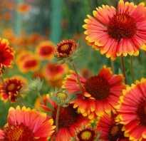 Гайлардия многолетняя gaillardia выращивание из семян и фото видов