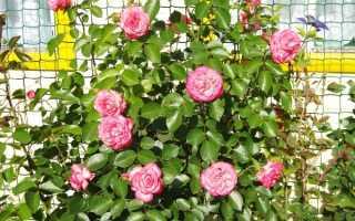 Какие розы нужно выбирать для сибири