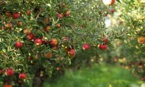 Чем обработать яблони от гусениц
