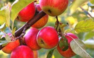 Как правильно посадить яблоню осенью видео