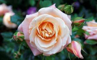 Как прорастить черенки розы в домашних условиях