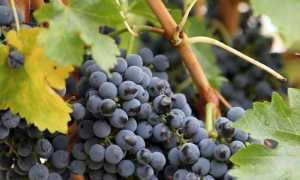 Когда обрезать виноград в ростовской области
