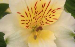 Какие есть цветы похожие на лилии