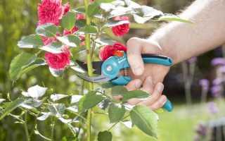Зачем обрезать розы осенью
