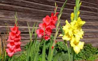 Гладиолусы в саду фото