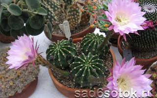 Названия кактусов и их разновидности