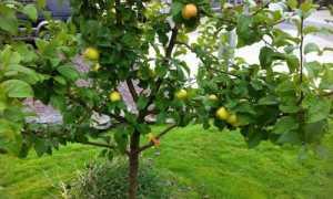 Как посадить яблоню из семечка дома