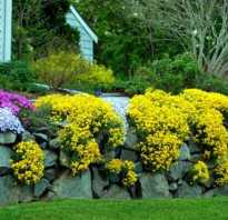 Желтые цветы многолетники