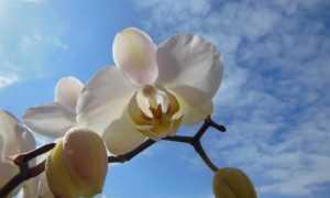 Можно ли поливать орхидею марганцовкой