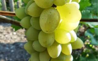 Обрезка винограда рисунок