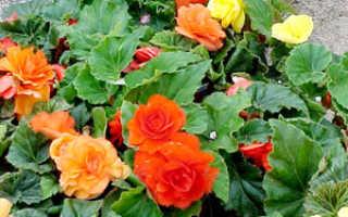 Бегонии род многолетних растений