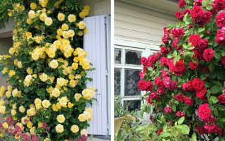 Вьющая роза фото