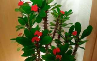 Комнатный цветок молочай эуфорбия
