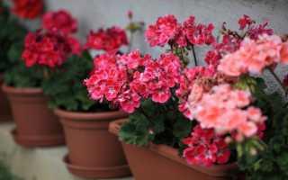 Комнатное растение герань уход в домашних условиях