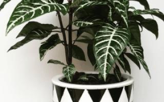 Комнатный цветок афеландра в домашних условиях