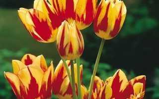 Тюльпан многоцветковый описание сортов посадка и уход