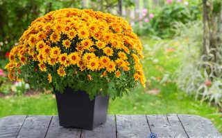 Как сажать хризантемы осенью