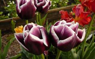 Тонкости выращивания тюльпанов