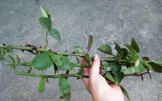 Как вырастить розы из черенков