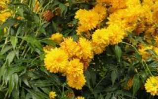 Золотой шар цветы уход осенью