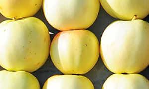 Яблоня золотая осень описание сорта