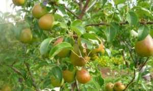 Урожайность груши с 1 га