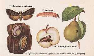 Червивые яблоки чем обработать яблоню