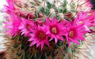 Когда и как часто цветет кактус в домашних условиях
