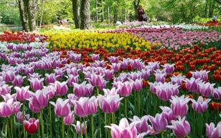 Сорта тюльпанов экзотичных оттенков