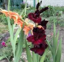 Как вырастить гладиолусы из семян