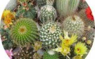 Названия кактусов которые цветут