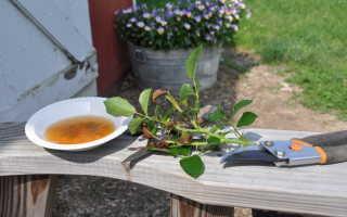 Как размножаются розы черенками