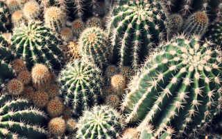 Кактусы сорта их фото и описание основные виды кактусов