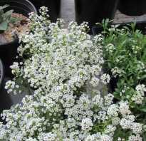 Алиссум выращивание и размножение
