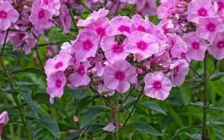 Флокс phlox однолетний и многолетний цветок