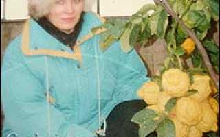 Лимон в оранжерее и в комнате