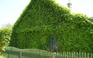 Садовые лианы фото и названия