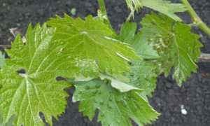 Виноград болезни листьев и лечение