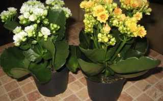 Каланхоэ блоссфельда уход в домашних условиях полив при цветении