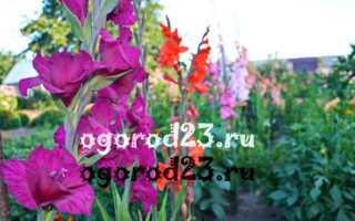 Гладиолусы в саду уход выращивание