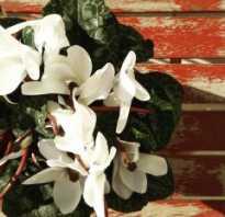Комнатные цветы уход цикламен