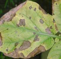 Коричневые пятна на листьях комнатных растений