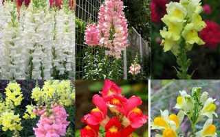 Какие двулетние цветы можно посадить в июне на даче