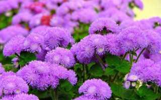 Цветы агератум виды и сорта